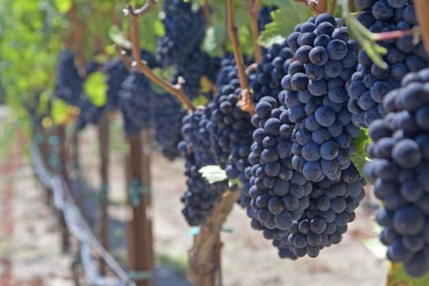 Grape vinesmall